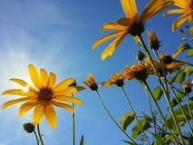Красивый желтый артишок Иерусалима цветет и голубое небо Стоковые Изображения