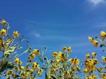 Красивый желтый артишок Иерусалима цветет и голубое небо Стоковая Фотография RF
