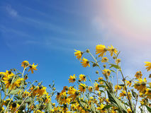 Красивый желтый артишок Иерусалима цветет и голубое небо Стоковая Фотография
