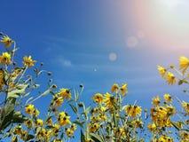 Красивый желтый артишок Иерусалима цветет и голубое небо Стоковое Изображение