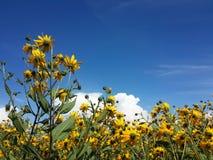 Красивый желтый артишок Иерусалима цветет и голубое облачное небо Стоковое Изображение RF
