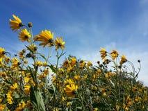 Красивый желтый артишок Иерусалима цветет и голубое облачное небо Стоковые Фото