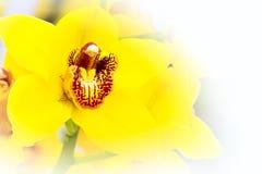 Красивый желтый конец макроса цветения цветка орхидеи вверх Стоковое Изображение RF