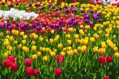 Красивый желтый, красный и фиолетовый крупный план поля тюльпана Стоковая Фотография RF