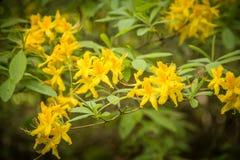 Красивый желтый рододендрон цветет на естественной предпосылке Стоковые Изображения