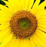 Красивый желтый солнцецвет стоковые фотографии rf