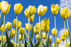 Красивый желтый тюльпан зацветает против голубого неба Стоковые Фотографии RF