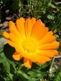 Красивый желтый цветок маргаритки на предпосылке зеленой поленики Стоковая Фотография