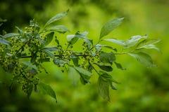 Красивый живой крупный план ветви дерева общего шпинделя на естественной предпосылке в лете Стоковые Фото
