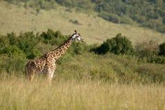 Красивый жираф в африканском парке Стоковое Изображение