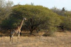 Красивый жираф в африканском парке Стоковые Изображения RF