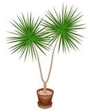 Красивый завод в баке Dracaena украсит ваши дом и офис Декоративное вечнозеленое дерево r иллюстрация вектора