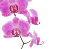 Красивый завод пинка и фиолетовых орхидеи изолированный на белой предпосылке Флористические благоухание, хрупкость и идея проекта стоковое изображение
