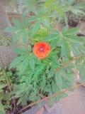Красивый завод цветка дома в Индии стоковое фото rf