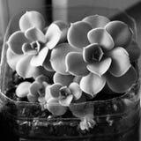 красивый завод echeveria черно-белый стоковые фото