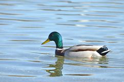 Красивый заплыв утки цвета Стоковые Изображения