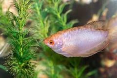Красивый заплыв рыб в домашнем аквариуме Стоковое фото RF