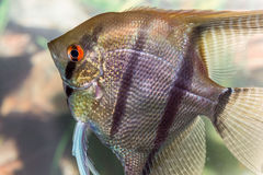Красивый заплыв рыб в домашнем аквариуме Стоковое Изображение