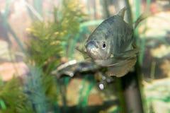 Красивый заплыв рыб в домашнем аквариуме Стоковые Изображения