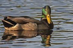 Красивый заплыв селезня на озере Стоковое Изображение RF