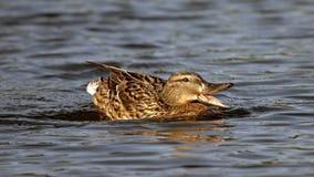 Красивый заплыв утки на озере Стоковое Изображение