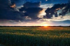 Красивый заход солнца в зеленом пшеничном поле, ландшафте лета, ярком красочном небе и облаках как предпосылка Стоковая Фотография