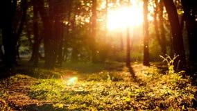 Красивый заход солнца в лесе и летание пылятся в солнечном свете сток-видео