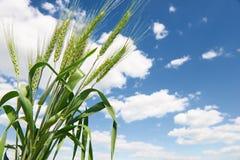 Красивый заход солнца в поле с тропой, ландшафтом весны, ярким красочным небом и облаками как предпосылка, зеленая пшеница Стоковая Фотография