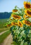 Красивый заход солнца над полем с солнцецветами стоковое фото