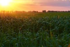 Красивый заход солнца в лете Зеленое поле, одичалый ландшафт Большое солнце в облачном небе по мере того как польза вала текстуры Стоковая Фотография RF