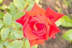 Красивый зацветать красного цвета поднял конец вверх Схематический дизайн для gre Стоковое Изображение