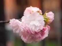 Красивый зацветать Сакуры полный с дождевыми каплями на сезоне Стоковые Изображения RF