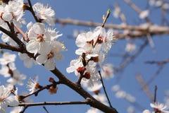 Красивый зацветая абрикос Стоковые Фотографии RF
