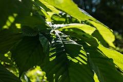 Красивый зацветая зеленый каштан outdoors Стоковые Изображения