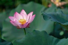 Красивый зацветая лотос стоковая фотография rf