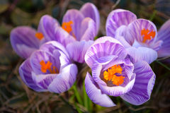 Красивый зацветая макрос пурпура и белых striped весны крокуса Стоковое Изображение RF
