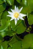 Красивый зацветая лотос Стоковое фото RF