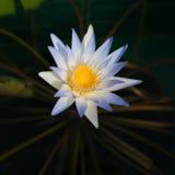 Красивый зацветая лотос Стоковое Фото