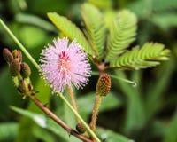 Красивый зацветая розовый цветок чувствительного завода или pudi мимозы стоковая фотография