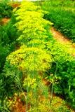 Красивый зацветая укроп в саде Стоковые Фотографии RF