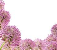 Красивый зацветая фиолетовый конец лукабатуна дизайн карточки вверх, приветствовать или свадьбы Сезонная предпосылка цветка Стоковое фото RF