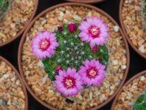 Красивый зацветая фиолетовый цветок кактуса Стоковое Фото