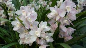 Красивый зацветая цветок орхидеи в саде с естественной зеленой флористической предпосылкой Изумительные заводы для открытки и Стоковое Фото