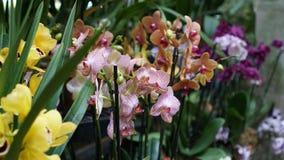 Красивый зацветая цветок орхидеи в саде с естественной зеленой флористической предпосылкой Изумительные заводы для открытки и Стоковые Изображения RF