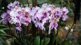 Красивый зацветая цветок орхидеи в саде с естественной зеленой флористической предпосылкой Изумительные заводы для открытки и Стоковое фото RF