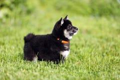 Красивый здоровый молодой щенок inu shiba представляя для моих камер Стоковые Фотографии RF
