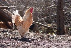 Красивый здоровый петушок идя на том основании Ферма птицы концепции стоковые фотографии rf