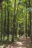 Красивый зеленый лес в лете Стоковое фото RF