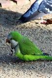 Красивый зеленый попугай идет вдоль пути гравия стоковая фотография rf