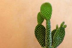 Красивый зеленый цвет кактуса с мягкими терниями на оранжевой предпосылке Стоковое фото RF